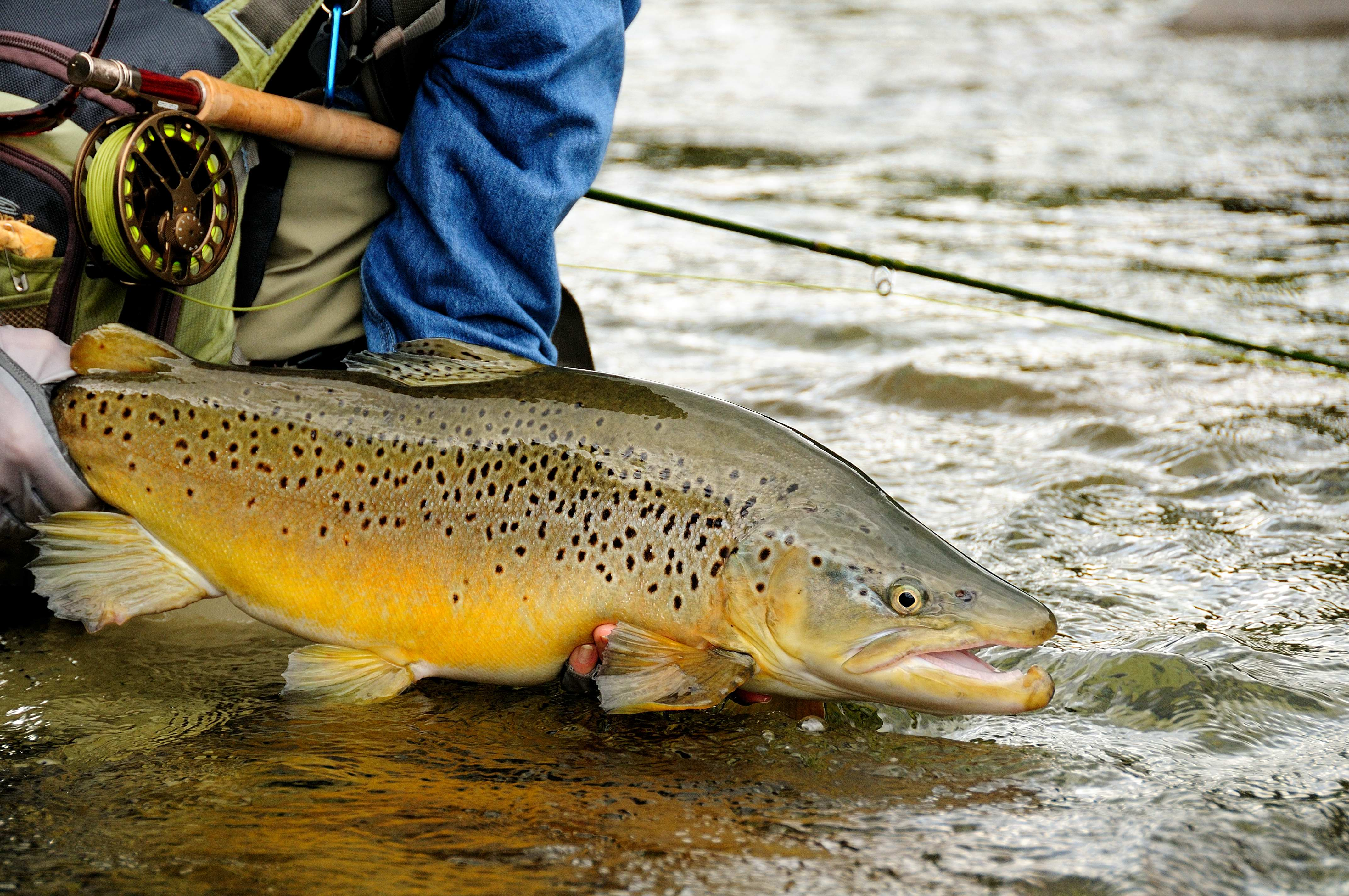 Cathy Beck 39 S Double Figure Brown Trout Caught At Riverview